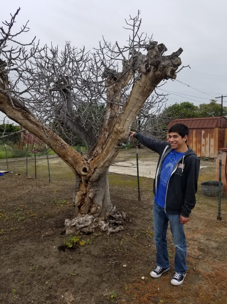 Josh showing his mom the fig tree at Grandma's house.  He made me laugh because he said it reminded him of the tree Jesus touched and it withered and died. LOL